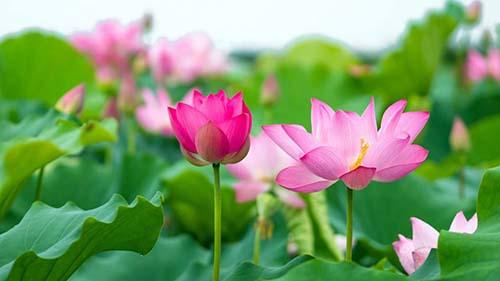 Những bài thuốc quý từ lá sen và Chiết Xuất Sen Tươi